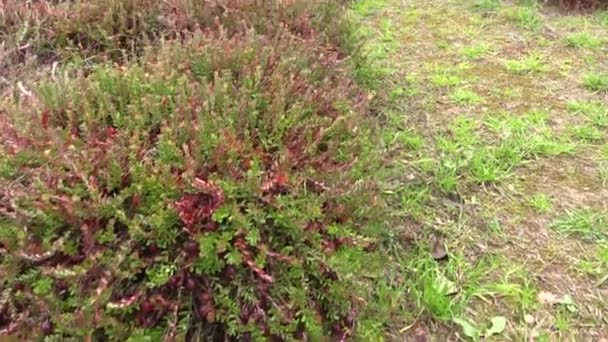 how to grow cranberry plants