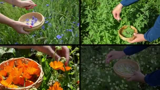 Hands gather herb plants. Alternative medicine. Clips collage