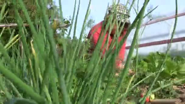 Starý farmář žena trávu jahodové rostliny s zralé bobule