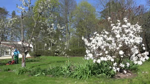 Gardener mow lawn between white blooms in spring. 4K
