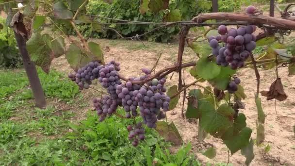 Borszőlő (Vitaceae) növény ág terméssel nő a gazdaság ültetvény