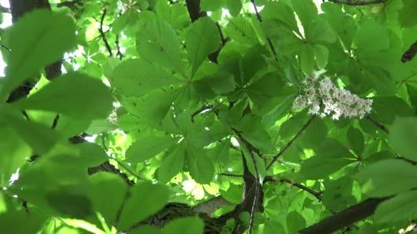 kaštan květ a slunečního záření proniknout přes listy. 4k