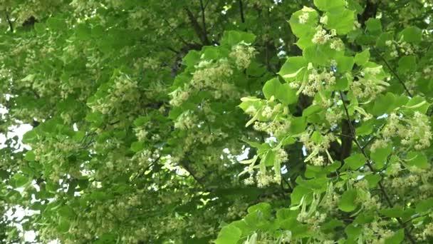 žlutá lipového květu stromu v dosud. 4k
