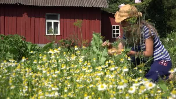 female herbalist pick camomile herbs flower bloom to wicker dish. 4K