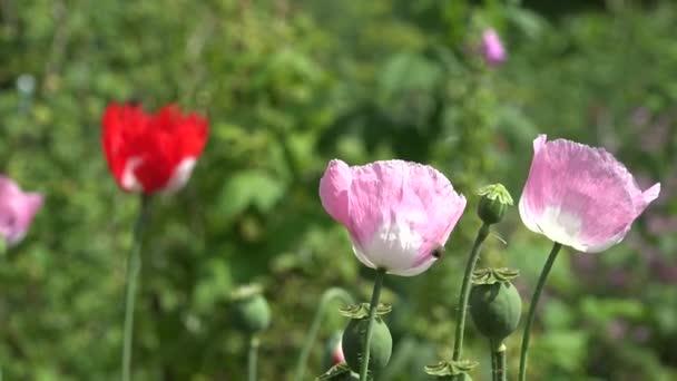 poppy flowers blooms move in wind in summer garden. 4K