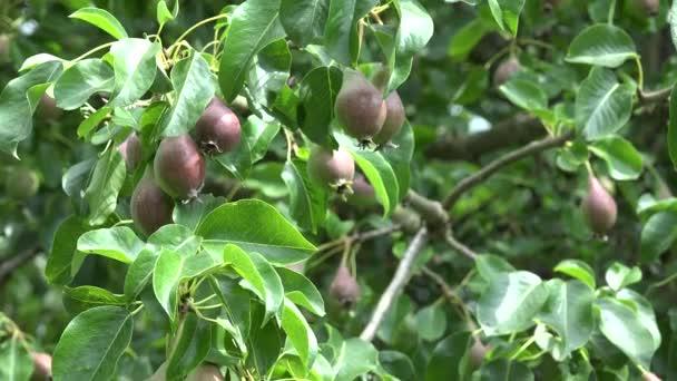 A spousta hruška ovocnářství v hrušně v ekologickou farmu. 4k