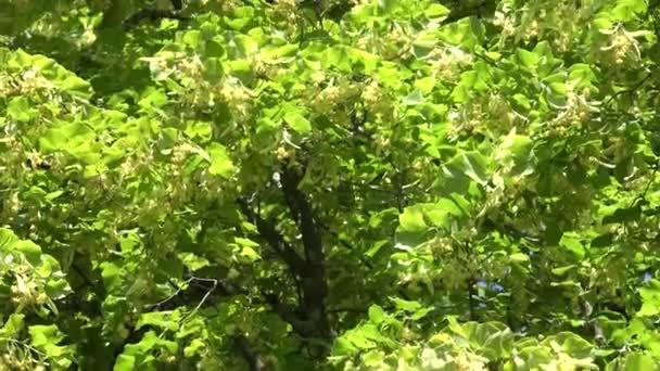 Linden tree flowers blooms move in wind tilt up. 4K