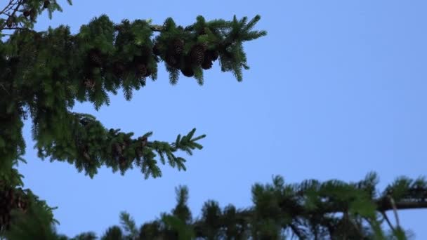 coniferous fir tree branches with cones move under blue sky background. 4K