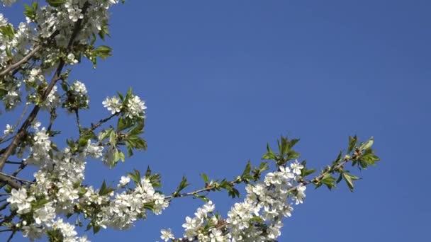zavání rozkvetlých větviček ovocných stromů proti živé modré obloze. 4k