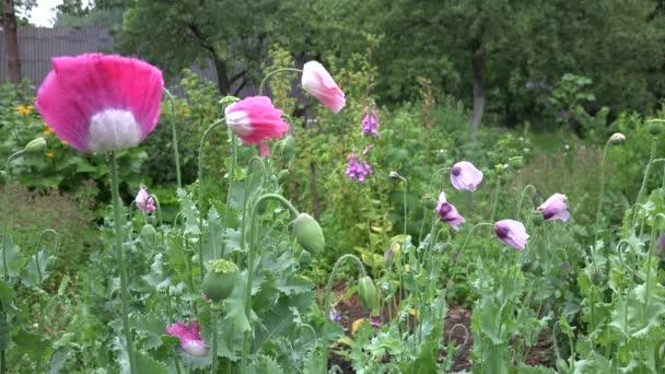 Csepp eső esik, a színes dekoratív mák virág virágzik. 4k