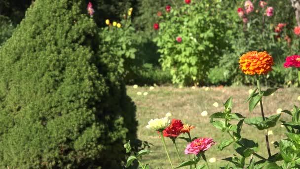Closeup barevné cínie violacea Květina kvete pohybovat ve větru ve venkovských letní zahrada. 4k