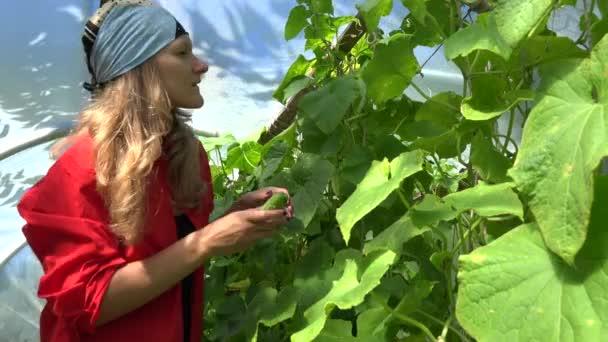 Gyönyörű nő fejkendő szedés friss uborka zöldség nyári kert. 4k