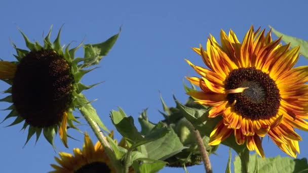 Decorative sunflowers flowers blooms move in wind on background of blue sky. 4K
