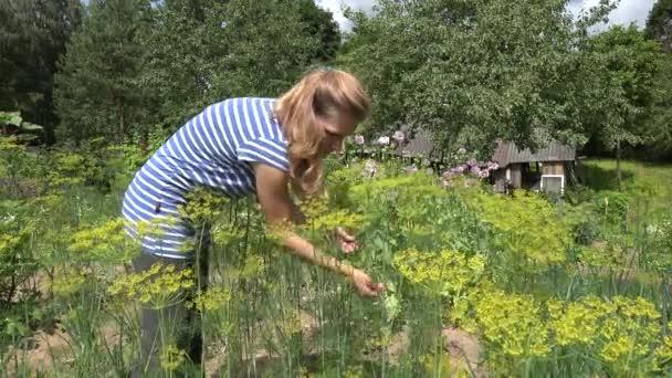 Zahradníka žena ručně vybrat přírodní kopr rostliny v Bio zahradě. 4k