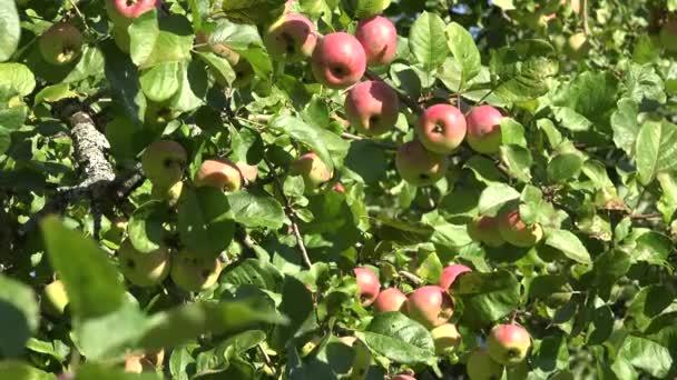 Ripe apple tree fruits in autumn. 4K
