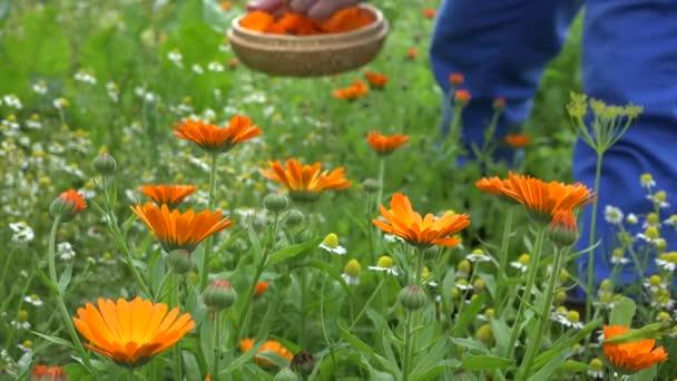 Bylina květy měsíčku a zahradník ruce pick v proutěné misky. 4k