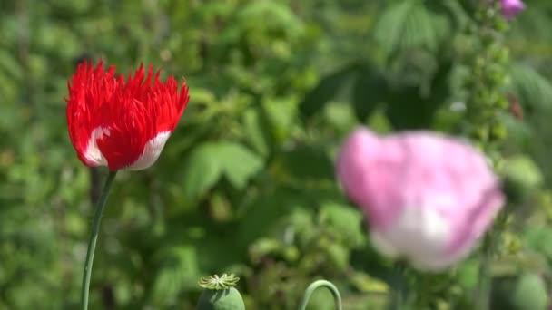 piros és rózsaszín mák virág virágzik a nyári kert szél mozog. 4k