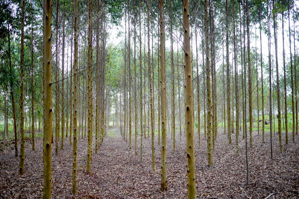 Perfectly Aligned Eucalyptus Tree Plantation Stock Photo C Timwege