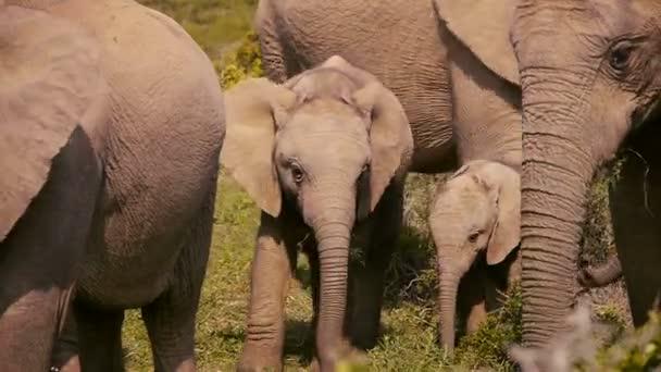 sloni v addo elephant park, Jihoafrická republika