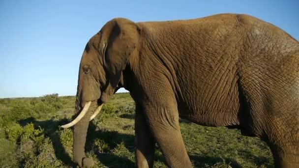 elephants in addo elephant park ,south africa