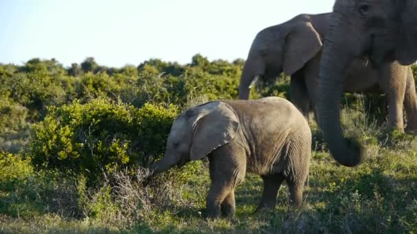 elephants in addo elephant park ,south africa