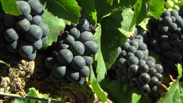 grapes in a vineyard in cae town, south africa