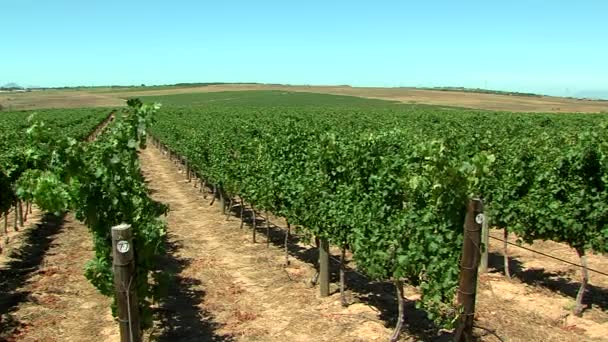 szőlő a szőlő, cae Town, Dél-afrikai Köztársaság