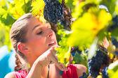 Fotografia Winegrower uva di raccolto al momento del raccolto