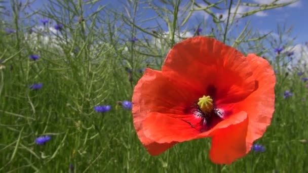 Red field poppy flowering by the rapeseed field with cornflowers