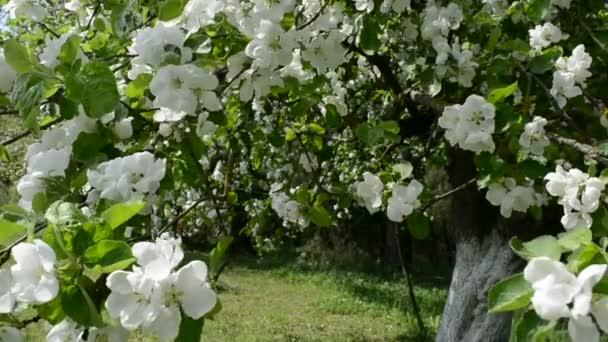 Jabloň kvetoucí na jaře