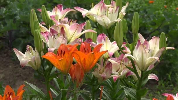 Liliom, virágos kertben, 4k