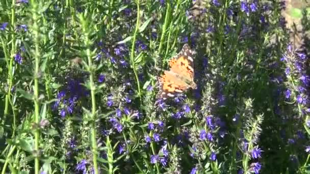 Festett hölgy pillangó Hyssopus officinalis