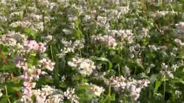 Pohanka kvetoucí v létě
