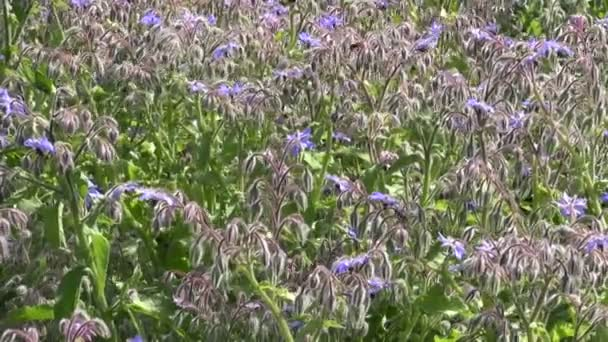 Borago officinalis with bees