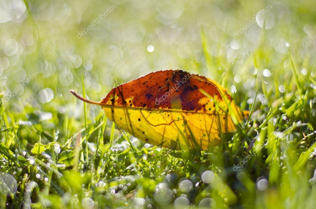 beautiful  summer end falling apple tree leaf in dewy  grass