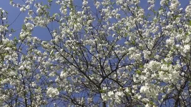 Gyümölcsfa virágzó cseresznye