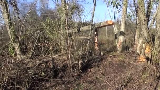 Albero di castoro e trappola del bracconiere a mano