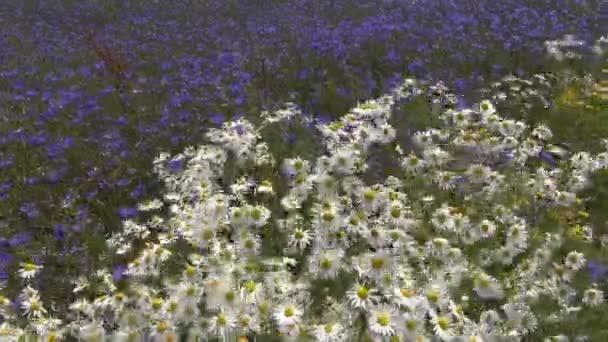 Gyönyörű vad virág, a nyári mezője. Nyári természet háttér