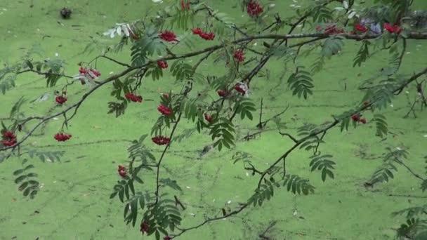 Března rybník s vodou zelenou okřehku a rowan berry v lese