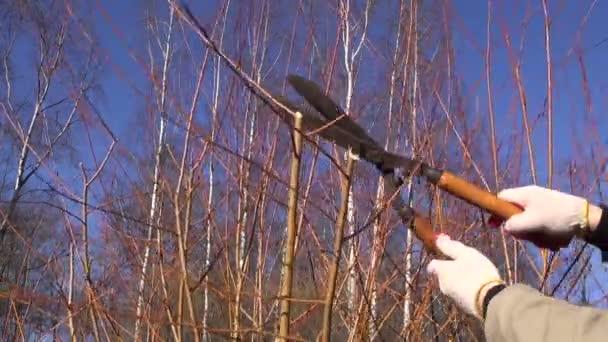 Řez trim prořezávat dekorativní vrbovou větvičkou Bushe v jarní zahradě farmy