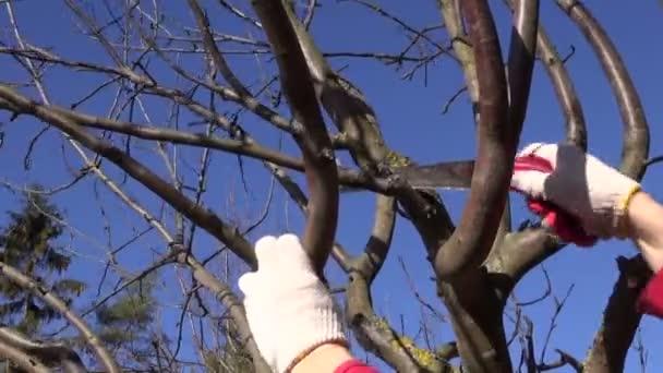 Farmář prořezávat větve stromu jablko nakrájíme na jaře s ocasku