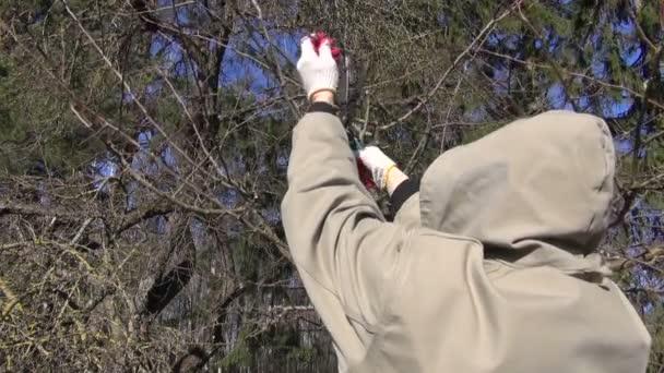 Zahradník, řez švestek lop střihu ovoce stromu větev na jaře
