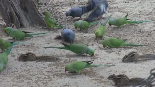 green parrots and pigeons eating grain bird food, Agra, India