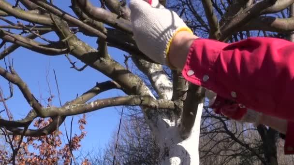 řez švestek jablko větev stromu na jaře s ocasku zahradník