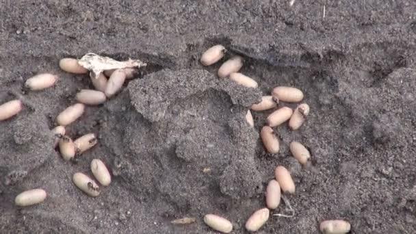 pismire ants saving larvae cocoon