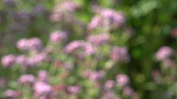 Blur lékařské a koření bylinky divoká majoránka oreganem. 4k