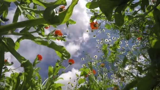 medical flowers chamomile and marigold calendula in summer wind. Timelapse 4K