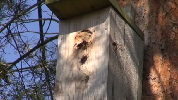 Common wasp nest in bird nesting box in pine tree