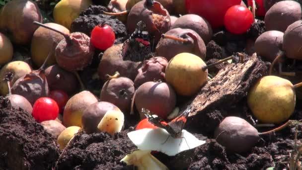 Red admiral motýli krmení na hnijící ovoce v kompost