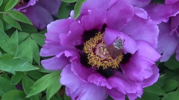 Beetle on tree peony flower